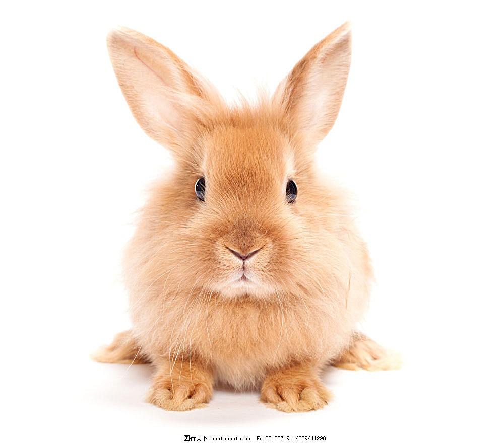 可爱兔子 动物摄影 动物世界 陆地动物 生物世界 图片素材 白色