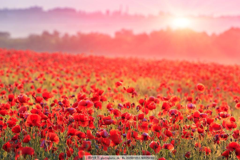 夕阳下的红花 远山 花海 背景图片 图片素材 红色