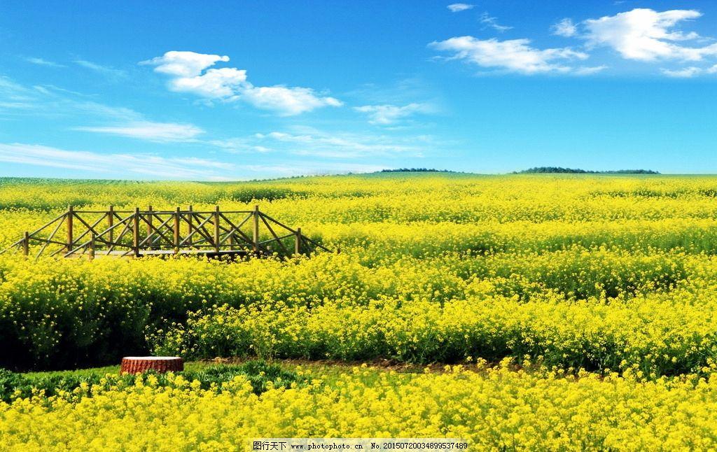 蓝天白云 油菜花 花海 油菜 黄花 黄色花朵 蓝天 白云 花朵 花卉 植物