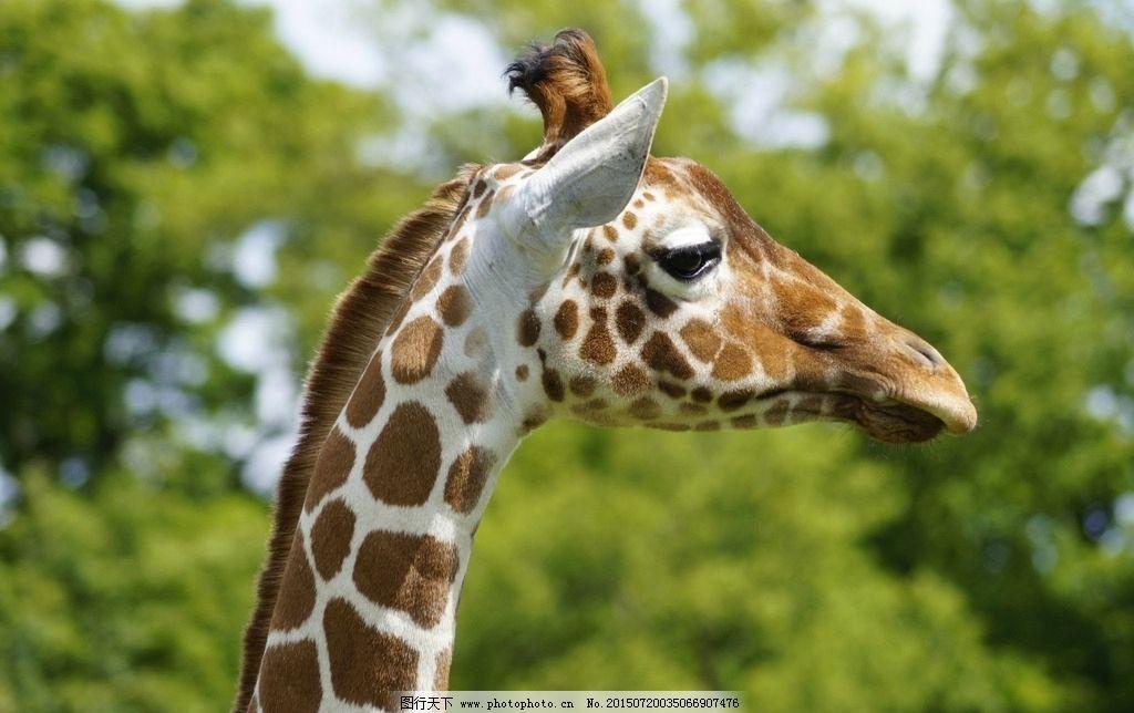 长颈鹿 长颈鹿特写 长脖子