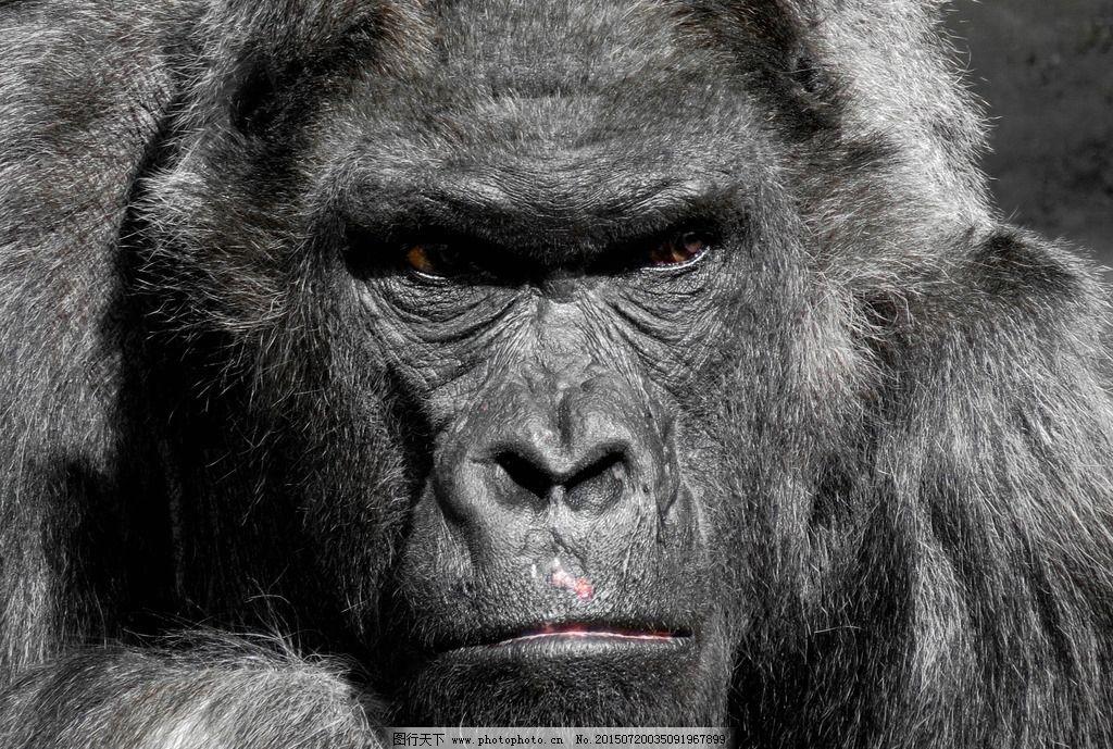大猩猩图片_野生动物_生物世界_图行天下图库