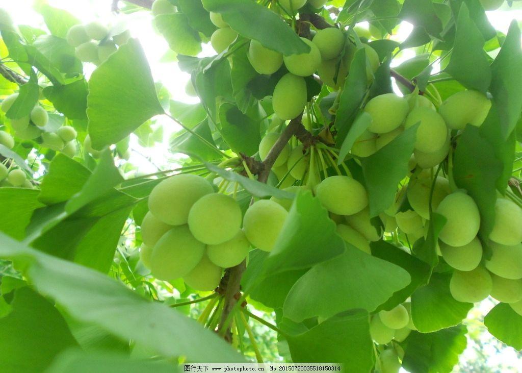 银杏 银杏叶 绿色 生命 摄影 植物 树木 树叶 摄影 生物世界 水果 300