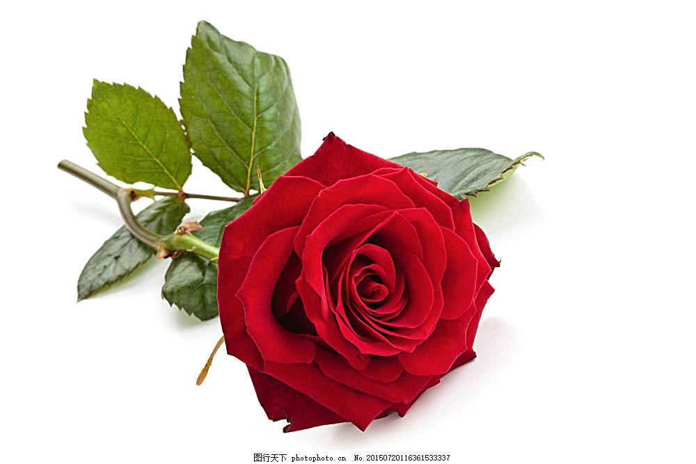 一支玫瑰花 情人节 植物花朵 美丽鲜花 漂亮花朵 花卉 鲜花摄影
