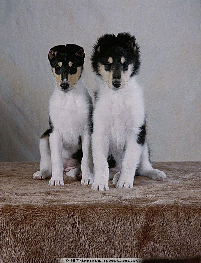 黑白宠物狗摄影 狗素材 宠物摄影 动物 动物世界 可爱动物 宠物医院