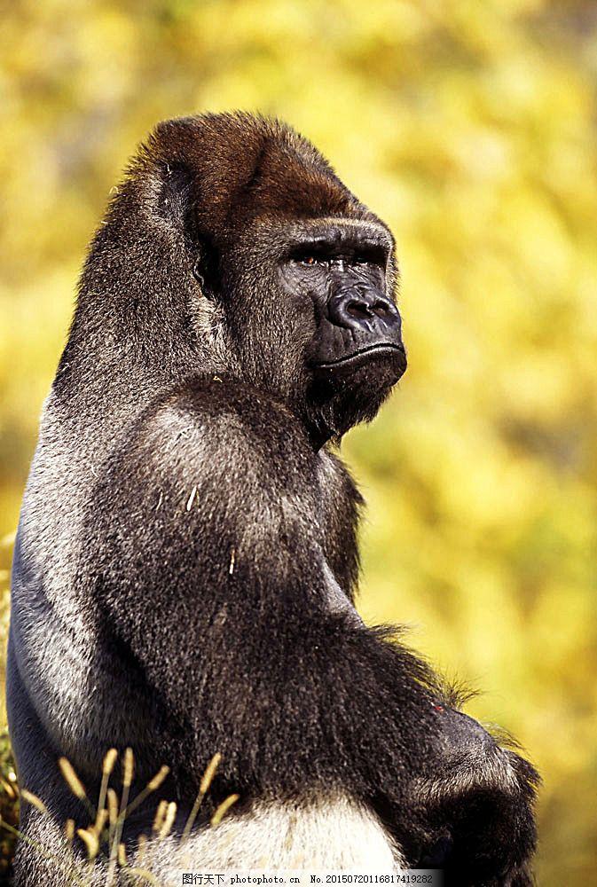 大猩猩 黑猩猩 野生动物 动物世界 摄影图 陆地动物 生物世界 图片