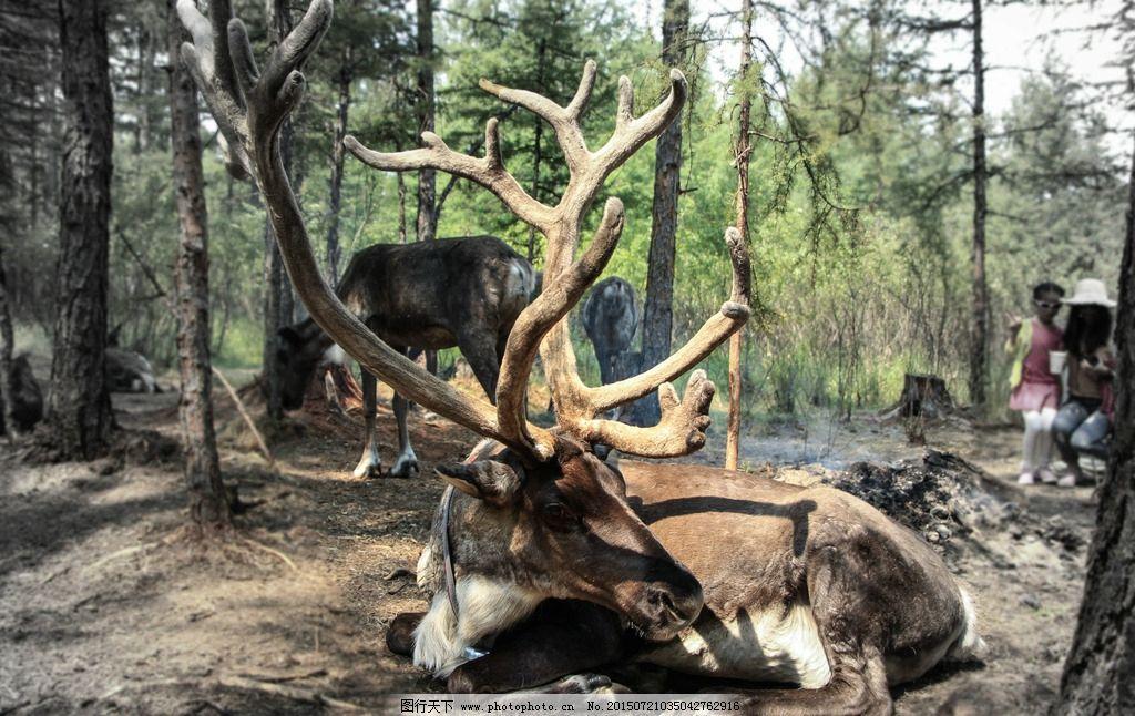 驯鹿 森林 动物 鹿 鹿茸 摄影 生物世界 野生动物 240dpi jpg