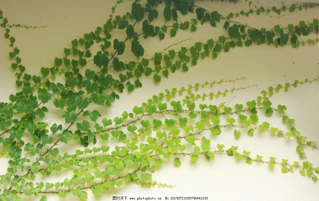 爬山虎植物图片