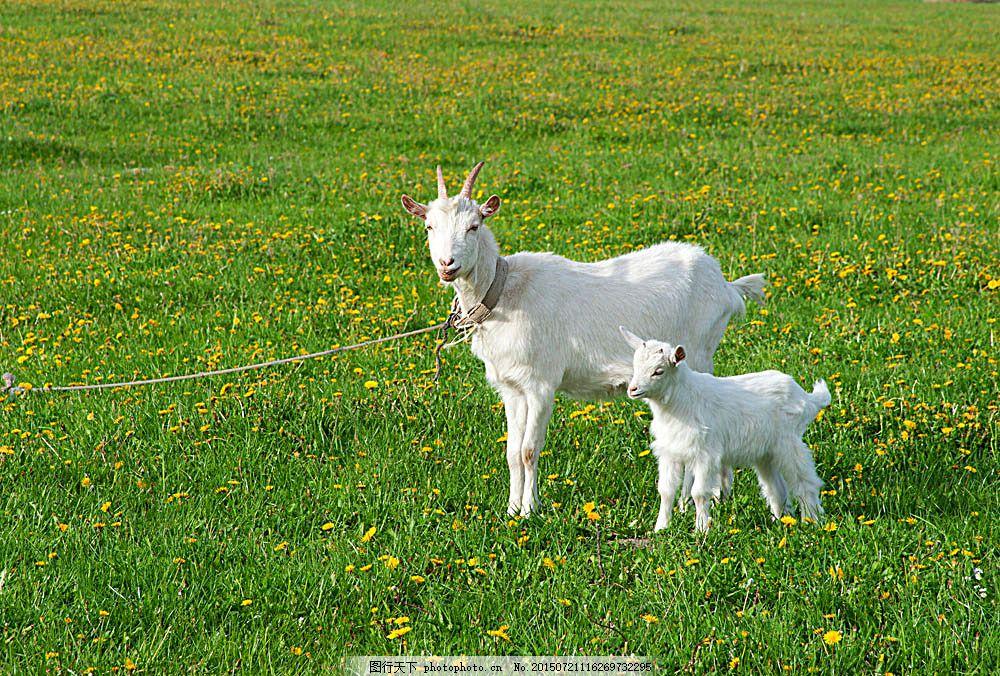 草地上的小羊羔 绵羊 家畜动物 动物摄影 陆地动物 生物世界 图片素材