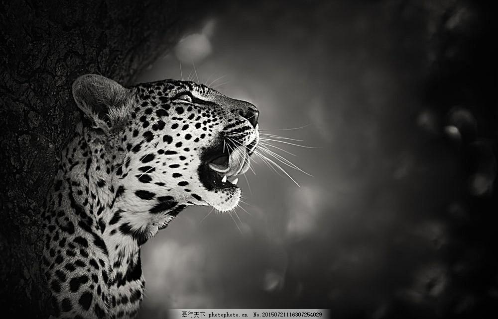 树木旁边的豹子 张嘴 动物 黑白照片 陆地动物 生物世界 图片素材