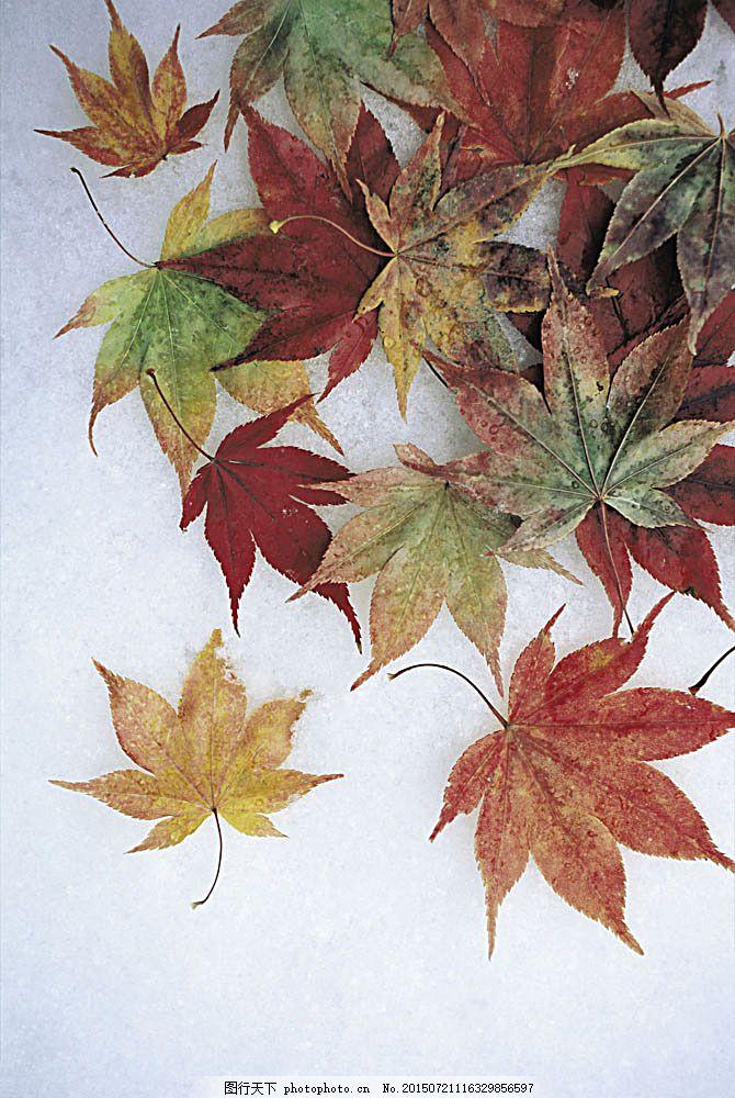 雪地上的枫叶摄影图片