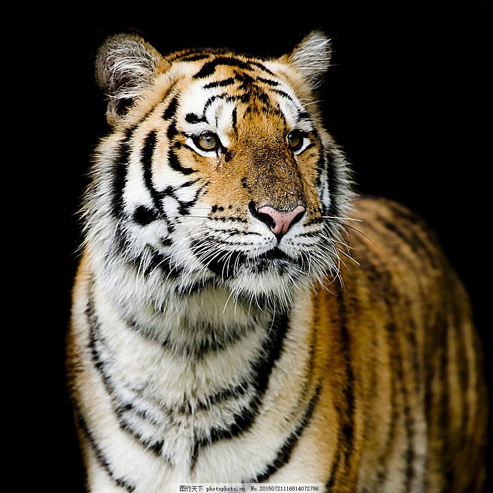 老虎摄影素材 老虎素材 野生老虎 野生动物 动物素材 陆地动物