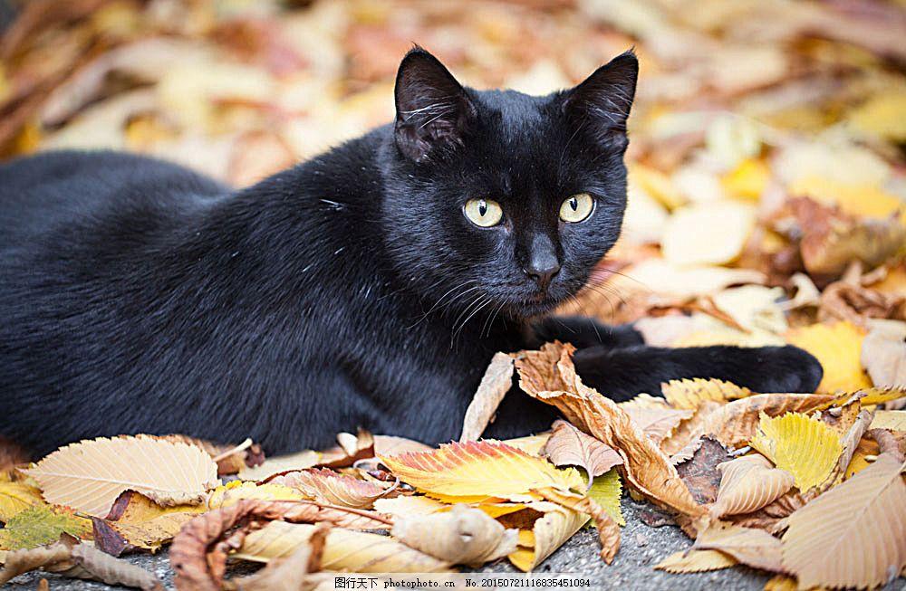 秋天树叶与猫咪 叶子 小猫 黑猫 萌宠 宠物猫 动物世界 可爱动物