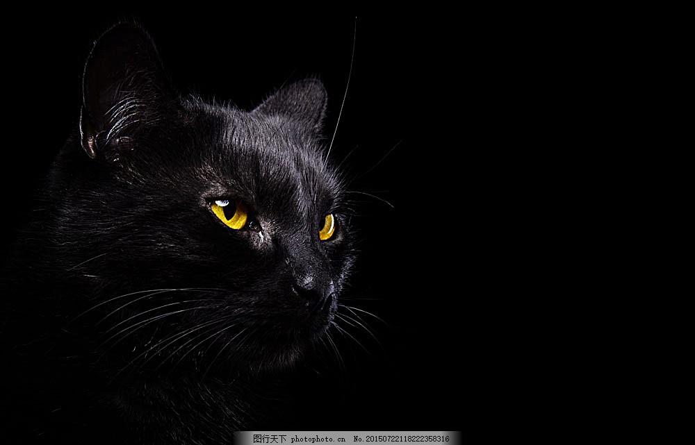 黑色背景与猫咪 小猫 黑猫 猫咪 萌宠 宠物猫 动物世界 可爱动物 陆地