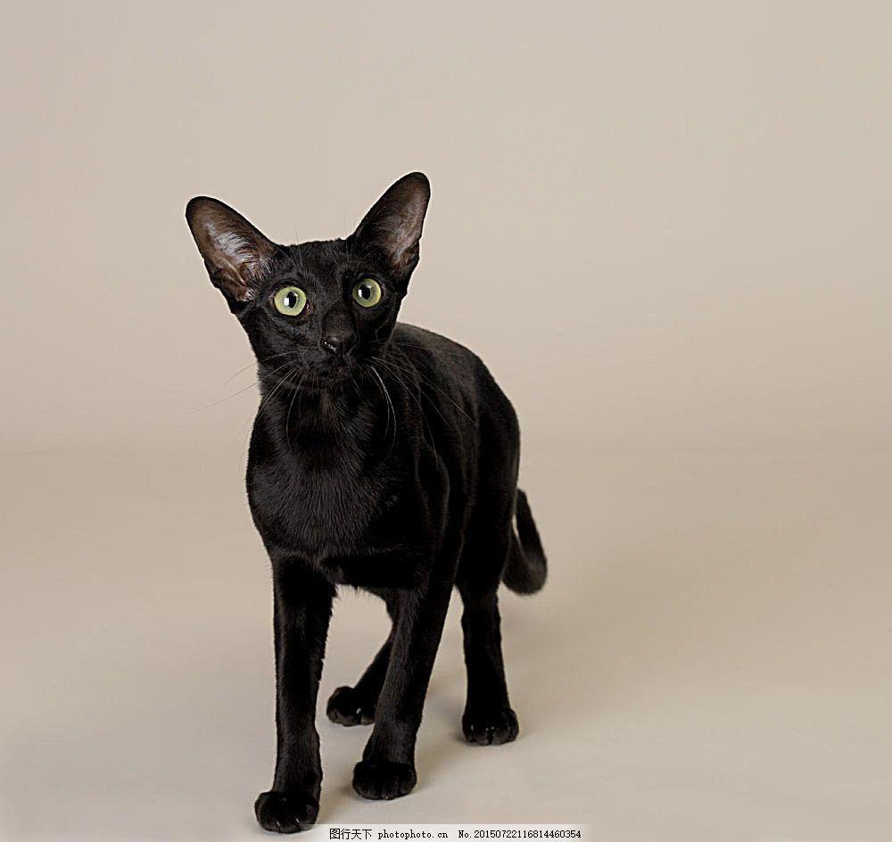 猫 可爱 小猫 猫咪 萌 宠物猫 动物世界 暹罗猫 陆地动物 生物世界