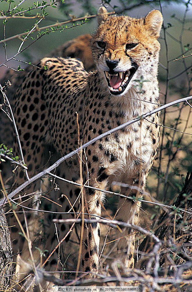 野生动物 动物世界 哺乳动物 金钱豹 猎豹 豹子 摄影图 陆地动物 生