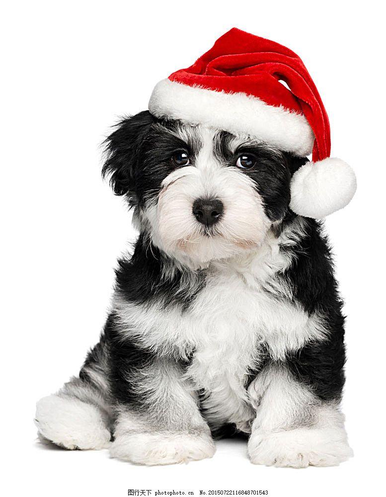 可爱小狗摄影 狗 宠物 动物 动物摄影 动物素材 可爱动物 动物世界