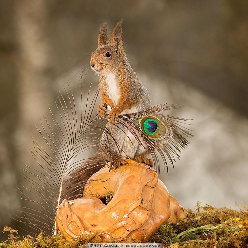 树林里的松鼠 孔雀羽毛 动物 野生动物 动物世界 动物摄影 陆地动物