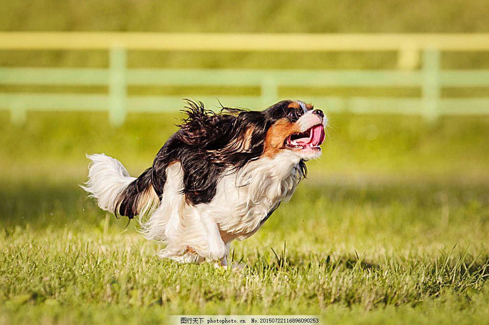 草地 奔跑的小狗 狗狗 可爱小狗 快乐的小狗 宠物 动物摄影 陆地动物