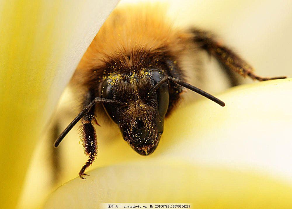 蜜蜂 采蜜 美丽鲜花 花朵 动物世界 昆虫世界 生物世界 图片素材