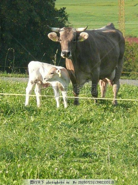 两只可爱的牛 牛 小牛 农业 奶牛草地 嘴巴 耳朵 牛奶 牛蹄     红色