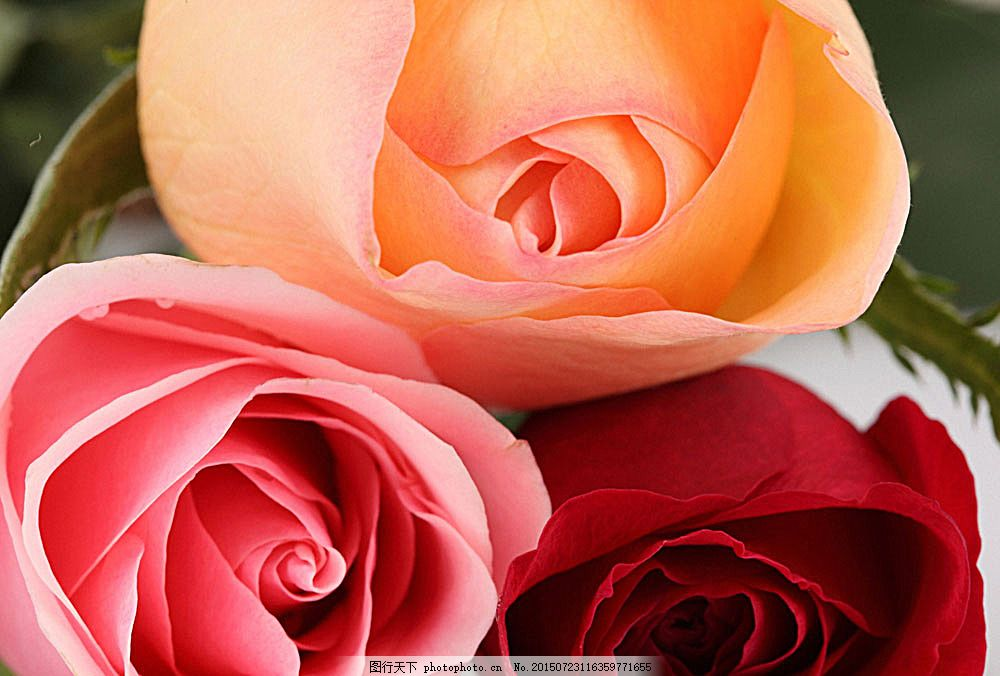 三朵玫瑰花