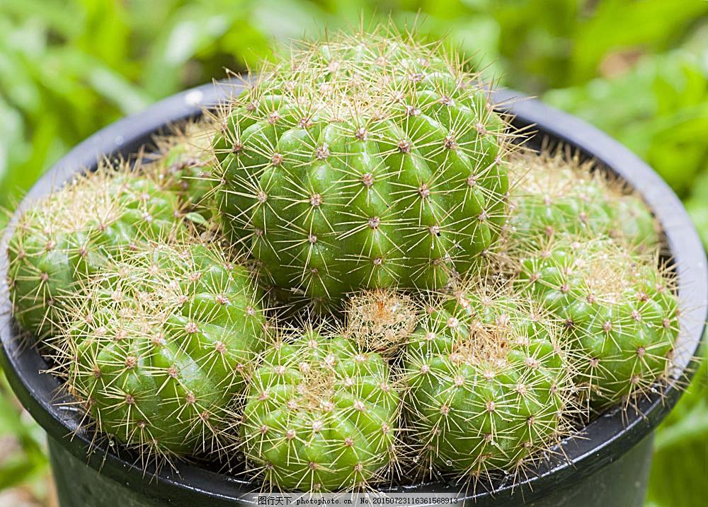 仙人球花盆 仙人掌 仙人球 仙人掌植物 仙人掌摄影 景观植物 其他生物