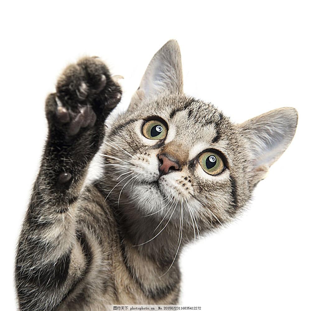 可爱小猫 猫咪 宠物猫 可爱动物 动物世界 陆地动物 生物世界