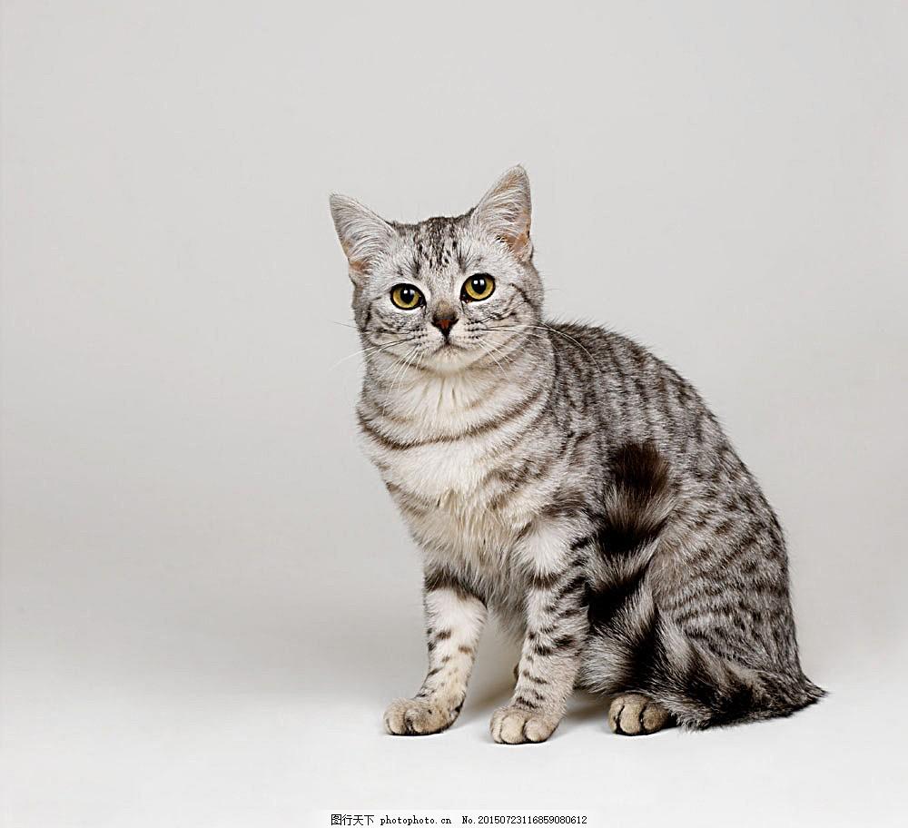 可爱小猫 猫咪 宠物猫 动物世界 陆地动物 生物世界 图片素材
