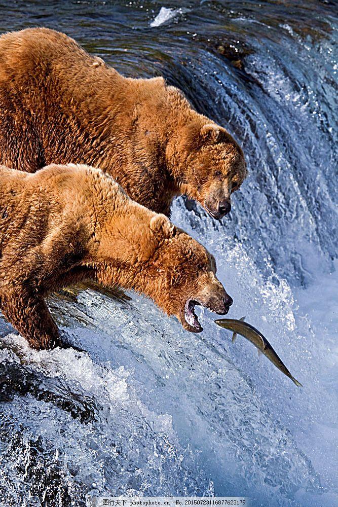吃鱼的熊 河流 瀑布 动物 野生动物 动物世界 动物摄影 陆地动物