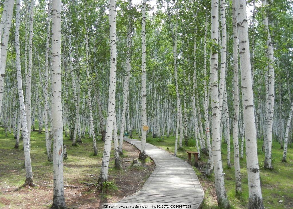 旅游摄影 内蒙古 林海 白桦林 夏天景观 摄影 旅游摄影 国内旅游 300