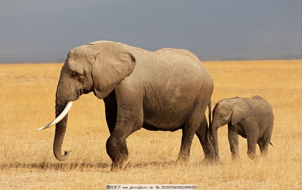大象 非洲象 象牙 野生动物 非洲 生物世界 野生动物 摄影 生物世界