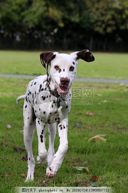 奔跑的小花狗 狗 dalmatian 小狗 运行 快乐 动物 美丽 宠物 可爱花斑