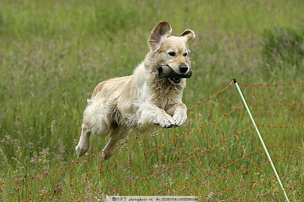 奔跑的狗狗 小狗 动物 狗 宠物 宠物狗 可爱 家禽 狗狗 陆地动物 生物