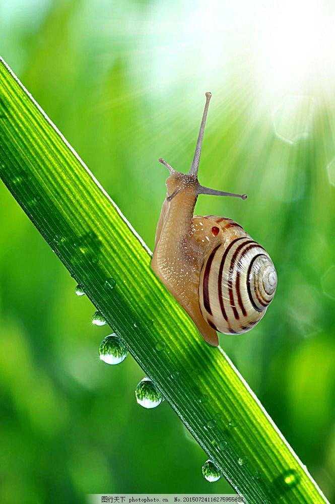 绿叶上的蜗牛 动物 动物世界 摄影图 叶子 露珠 陆地动物 生物世界