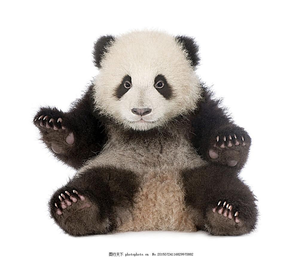 熊猫幼仔 国宝 国家保护动物 野生动物 动物世界 陆地动物 生物世界