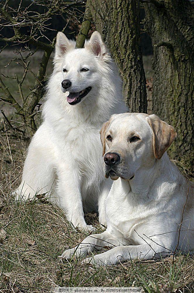狗 小狗 宠物狗 高清摄影 可爱的小狗 小狗狗 高清小狗 趴着 慵懒