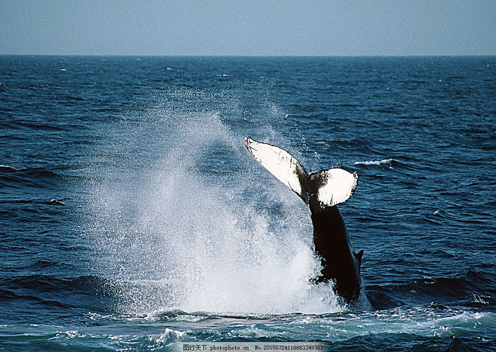 鲸鱼摄影 动物世界 生物世界 海底生物 鲸鱼 大海 水中生物 图片素材
