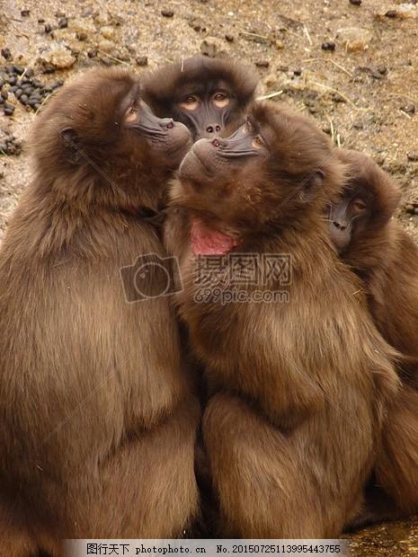 狒狒 猴子 动物 生物     红色 jpg