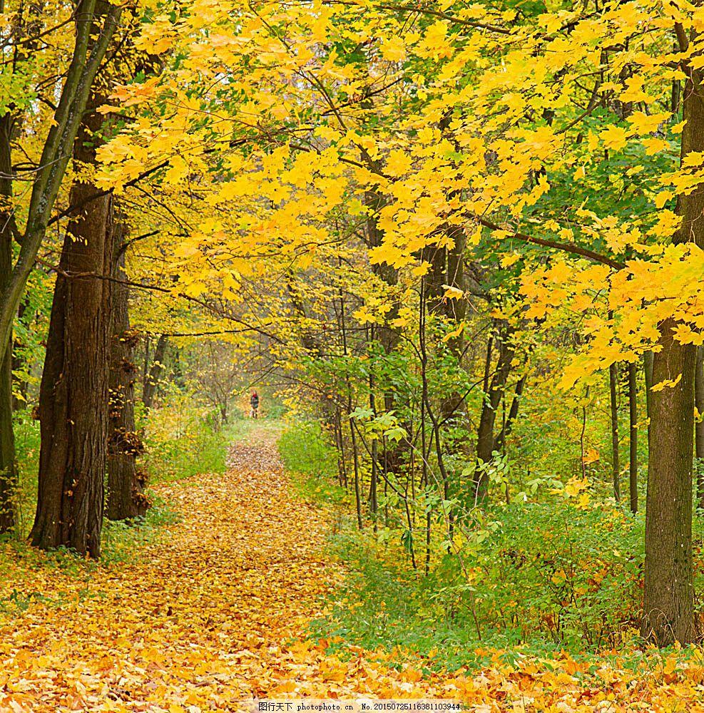 梧桐树林小路风景图片下载 黄叶 落叶 秋季风景 秋天风景 树林风景