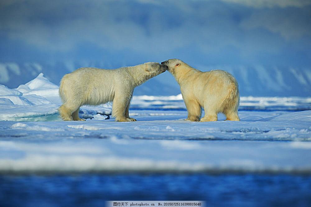 两只北极熊 浮冰 极地风景 北极熊 野生动物 动物摄影 动物世界 陆地