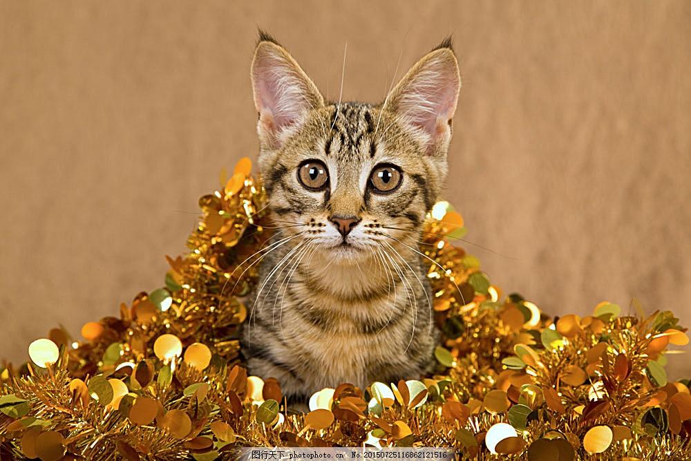 可爱圣诞节小猫 圣诞动物 猫咪 可爱动物 动物世界 陆地动物 生物世界