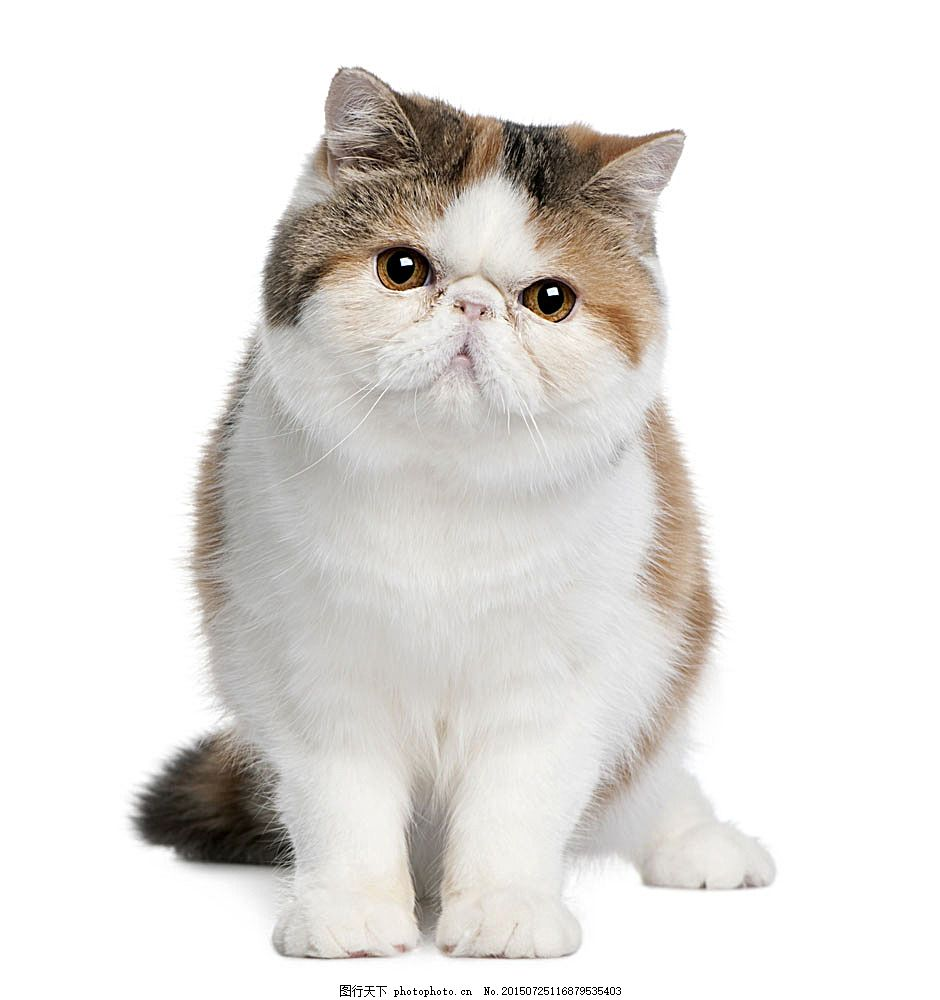可爱波斯猫 小猫 猫咪 宠物 萌 动物世界 陆地动物 生物世界