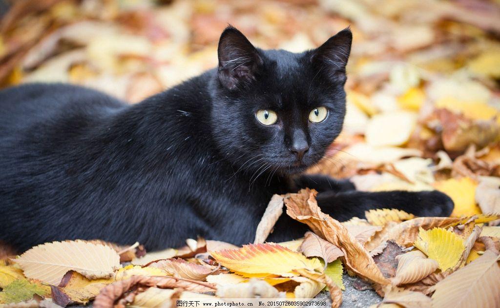 唯美 可爱 动物 宠物 猫 小猫 猫咪 宠物猫 黑猫 摄影 生物世界 家禽