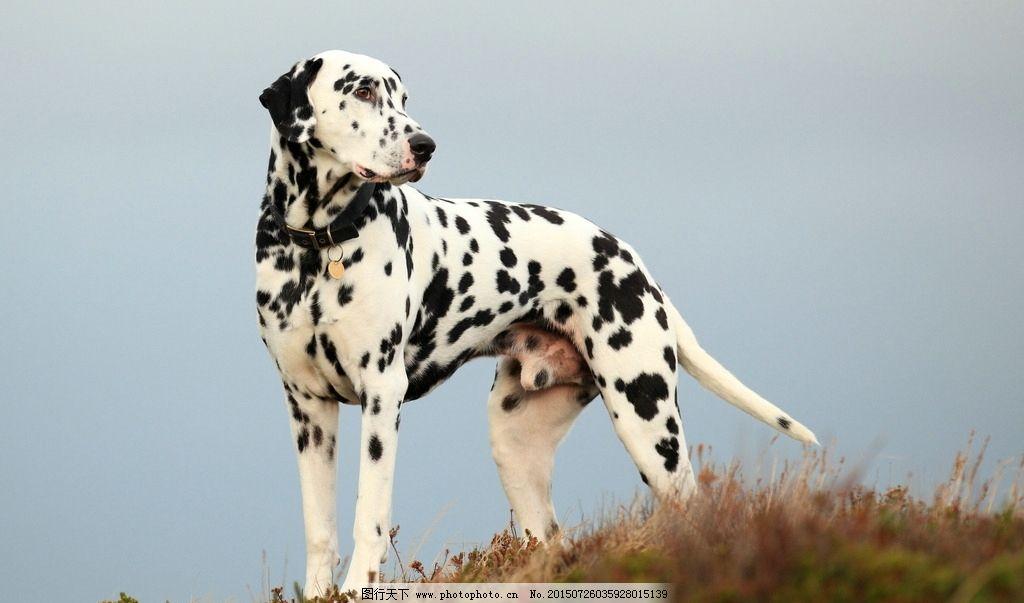 唯美 可爱 动物 宠物 狗 小狗 宠物狗 狗狗 斑点狗 摄影 生物世界