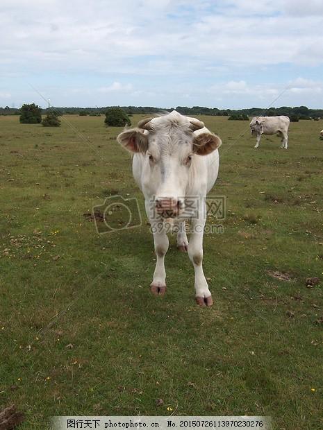 牛 原野 新的森林 动物 农业 草 草甸 牧场 绿色 农村 红色