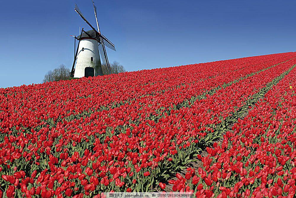 荷兰风车与郁金香