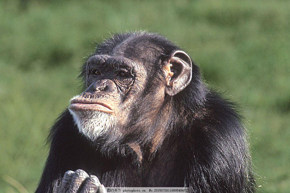 黑猩猩摄影 大猩猩 黑猩猩 野生动物 动物世界 摄影图 陆地动物 生物