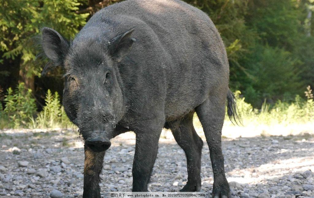 摄影图库 生物世界 野生动物  高清野猪图片 猪 毛猪 土猪 山猪 摄影