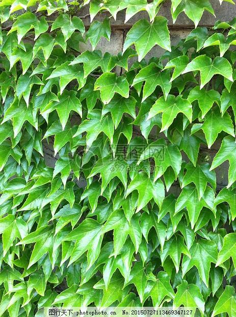 常春藤 绿色 墙 植物 纹理 叶 登山者植物 外墙 红色