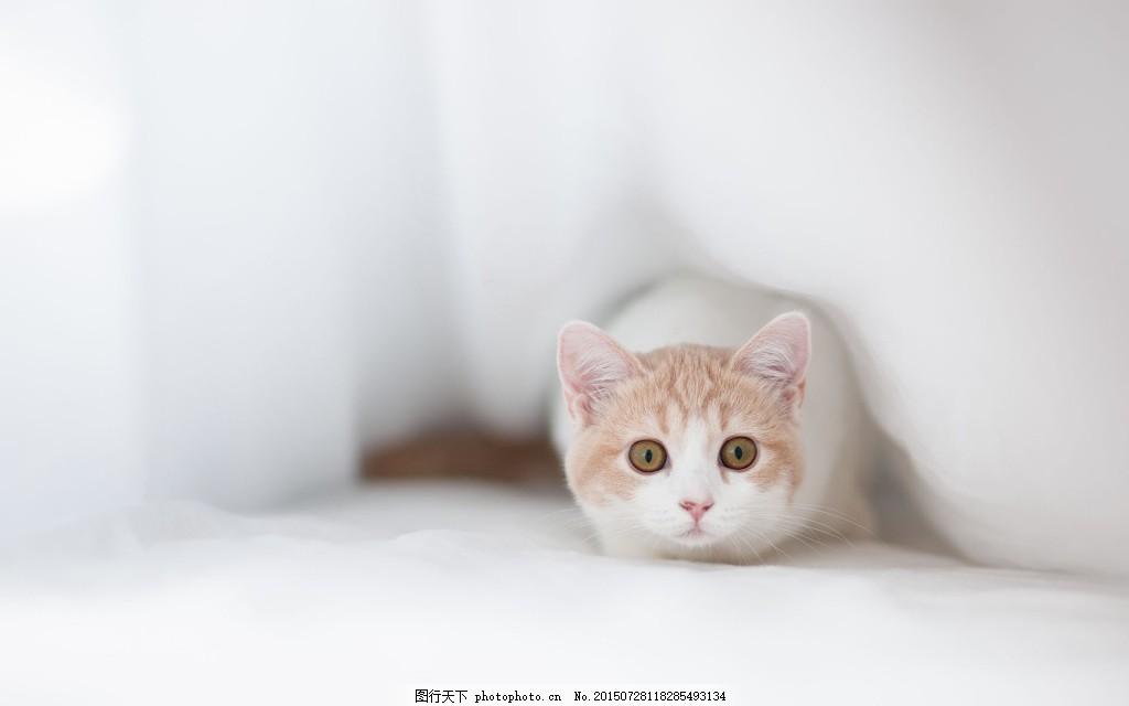 萌萌哒的小猫咪高清背景图,可爱 白色-图行天下图库